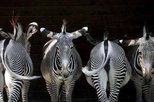 Zebry vo výbehu v zoo v Augsburgu.
