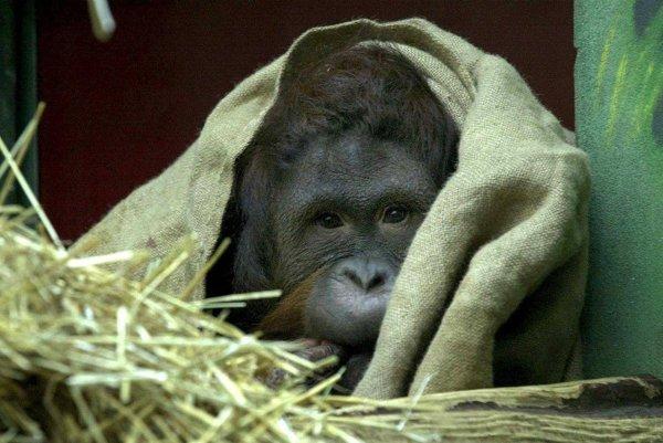 Schladenie počas horúčav hľadajú aj orangutany v bojnickej zoo.
