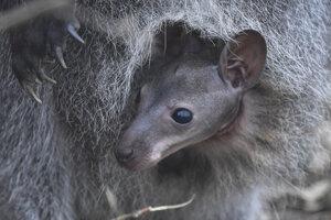Ošetrovatelia nevedia pohlavie ani dátum narodenia malej kengury.