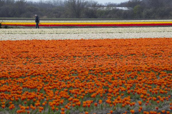 Kvetinové polia v Holandsku.