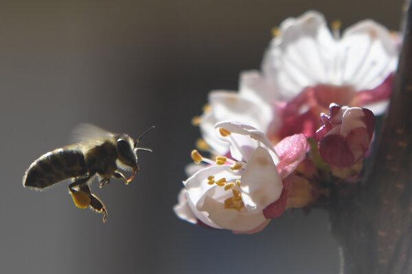 Včely opeľujú kvety marhule.