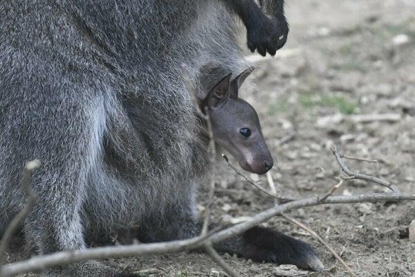 Kengurie mláďa je veľkým lákadlom pre návštevníkov.