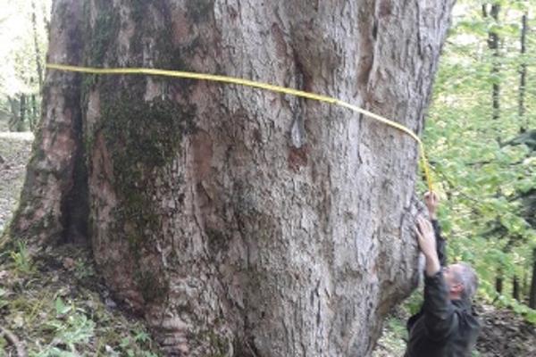 V našich lesoch sa nachádzajú aj výnimočné staré stromy.
