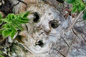 Tvár na strome.