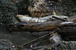 Nitra vyplavila päť ton mŕtvych rýb. Podľa inšpekcie životného prostredia sa udusili. Ochranár Jozef Lengyel s týmto záverom nesúhlasí.