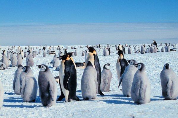 Tučniaky cisárske.