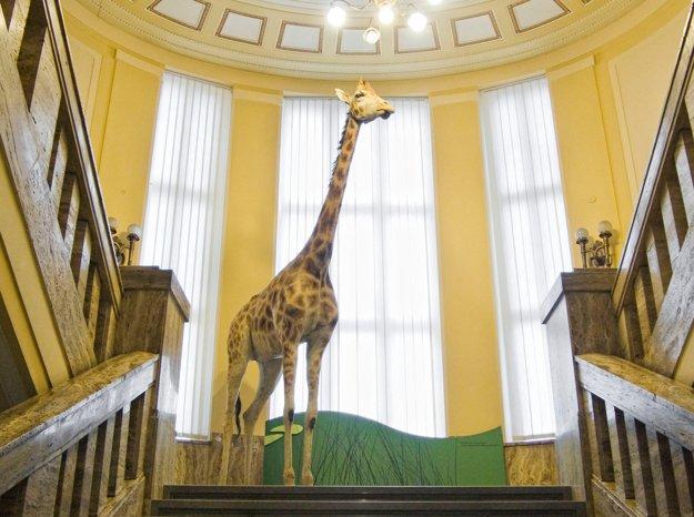 Štvormetrová žirafa - maskot Prírodovedného múzea v Bratislave.