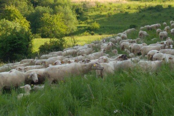Ovce na paši nad Handlovským rybníkom.