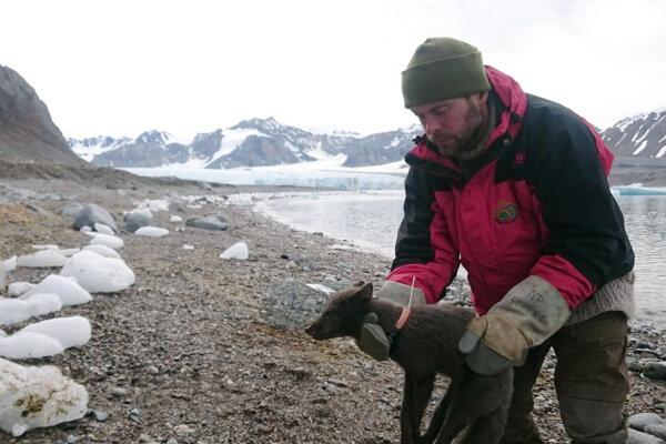 Nórsky polárny výskumník nasadzuje na líšku sledovací obojok. Zviera prešlo cestu dlhú vyše 4400 kilometrov zo Špicbergov do Kanady.