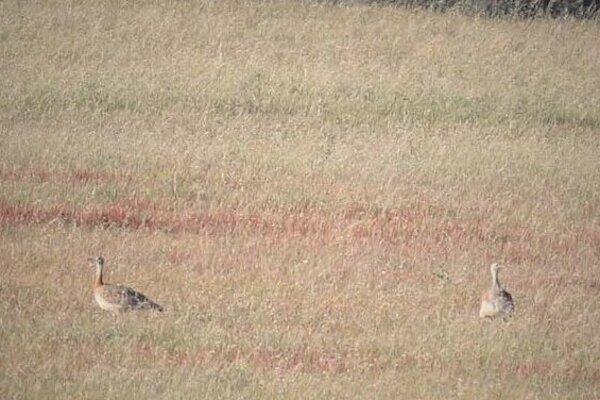 Výskyt 2 dropov fúzatých (Otis tarda) dňa 4.8.2019 na trávnatom strnisku pod Malými Karpatami v okrese Myjava.