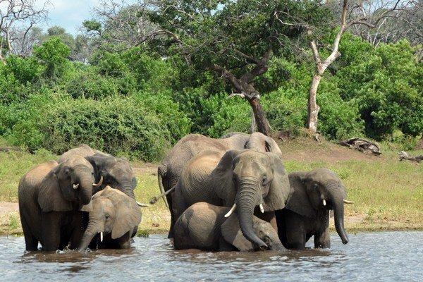 Počet zabitých slonov pytliakmi prevyšuje prirodzený prírastok.