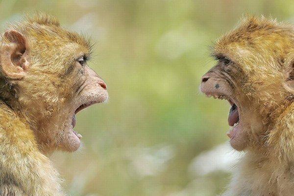 Pokusná opica dokázala ovládať pohyb druhého zvieraťa.
