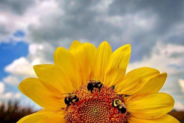 Počet rastlín, ktoré potrebujú včely, rastie príliš rýchlo. Včelstvá ich nezvládajú.