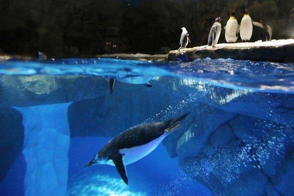 Lietať sa tučniakom nevypláca. Stálo by ich to priveľa síl.