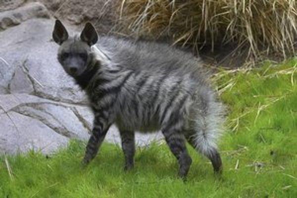 Hyeny sa dokážu poučiť.