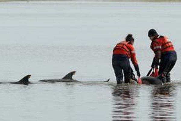 Uviaznuté delfíny majú malú šancu na prežitie.