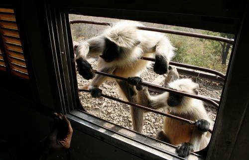 opice-vlak-radzastan_tasrap.jpg