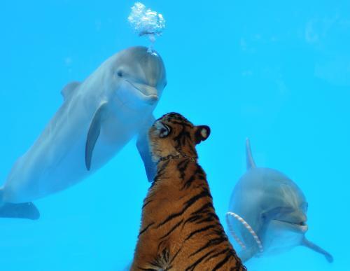 tiger-delfin2_tasrap.jpg