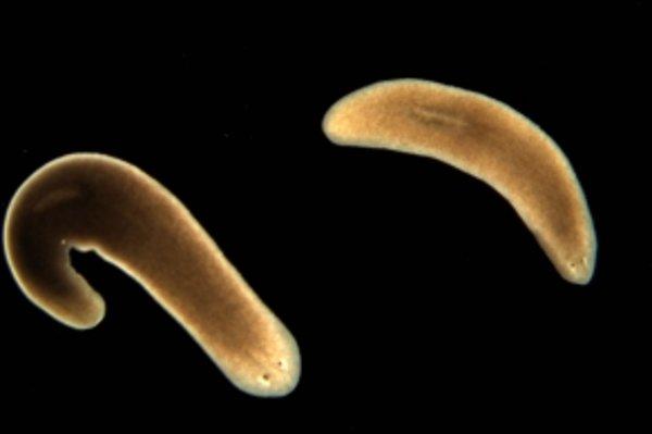 Veľmajstri regenerácie – ploskulice. Sú ideálnym výskumným nástrojom vedcov, ktorí pátrajú po tajomstve molekulárnych mechanizmov celkovej obnovy organizmu.