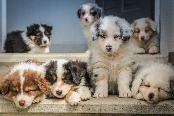 Tisícročia šľachtenia psov zmenili nielen ich veľkosť, ale aj mozgy.