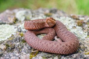 Vretenica severná je náš jediný jedovatý had.