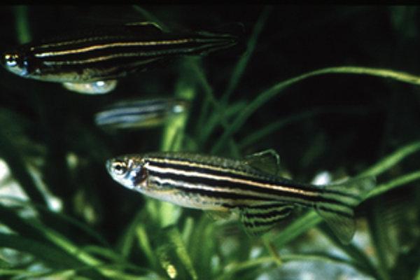 Nenápadné akvarijné rybky pomáhajú hľadať liek proti melanómu.