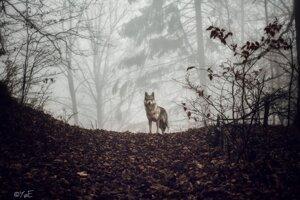 Vlk. Víťazná fotografia Jozefa Kovalíka.