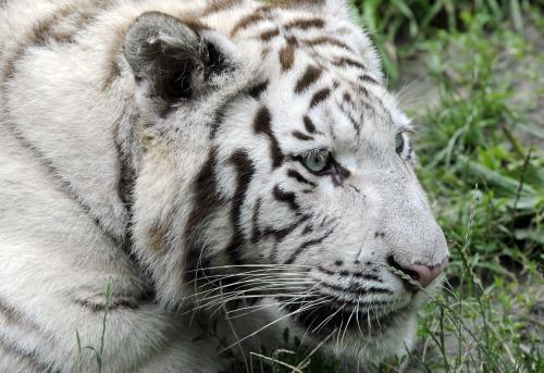 tiger-bratislava2_tasr.jpg