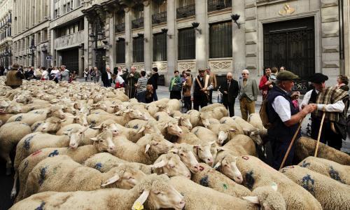 ovce-v-madride2_tasrap.jpg