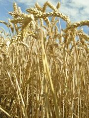 1295083_the_harvest_4_res.jpg