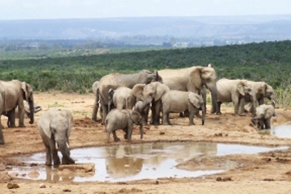 """Slony nielen trúbia. Podľa vedcov aj """"vrčia""""."""