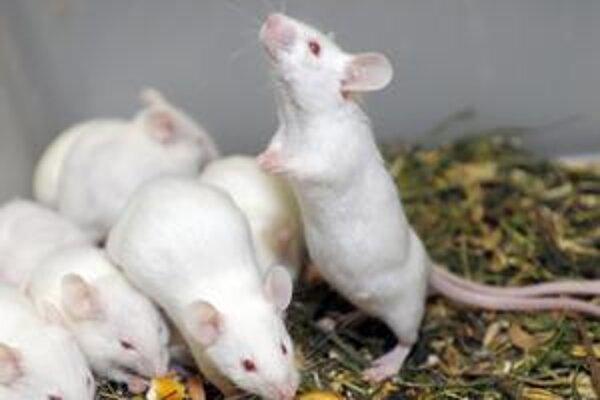 Zásah do prirodzenej hierarchie môže byť aj pre myši veľmi stresujúci. Má to aj výhody.