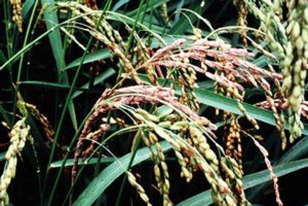 Obyčajná ryža.