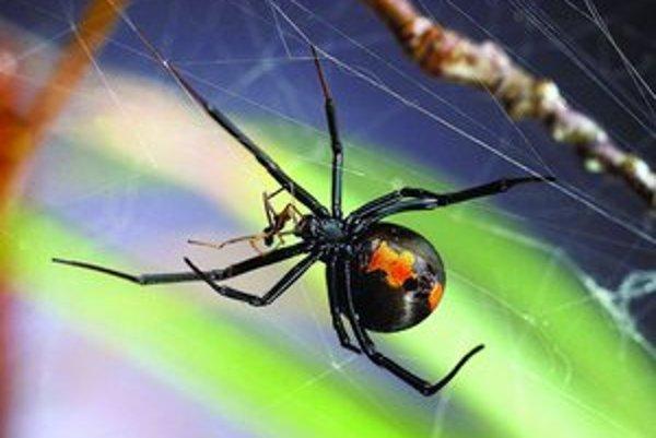Pavúčica Latrodectus hasselti si po kopulácii pochutnáva na samcovi.