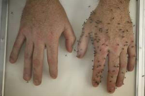Komáre na ľudskej ruke - vľavo potretej jedným z nových ochranných prostriedkov, vpravo bez neho.