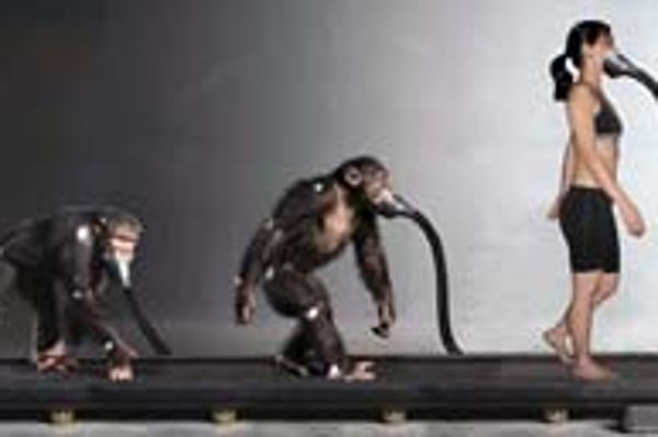 Montáž chôdze šimpanzov po štyroch a dvoch končatinách a ľudskej dobrovoľníčky na bežiacom páse.