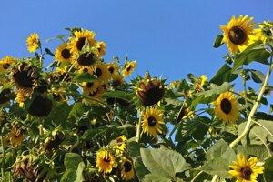 Slnečnice v záhrade Evy Goľovej vyrástli pomaly do nebies.