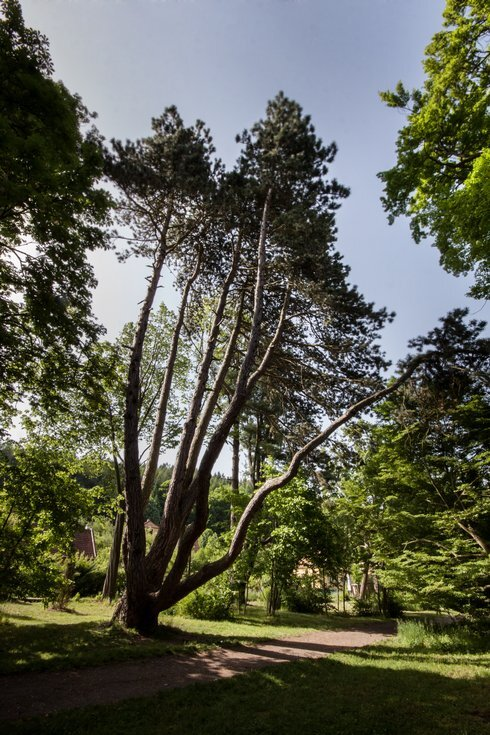 6.cze_the-opatovice-pine-3--lenka-grossm_r7077_res.jpg