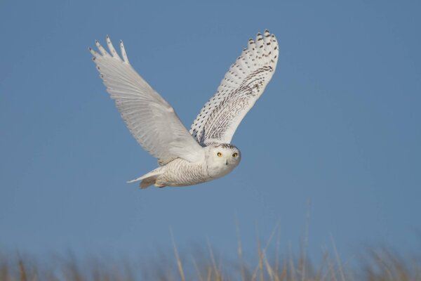 Spojené štáty a Kanada od roku 1970 prišli o takmer tri miliardy vtákov. Belaňa tundrová (na obrázku) je jedným z druhov, ktorých sa úbytok týka.
