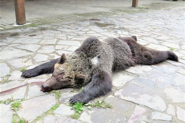Zrazená medvedica.