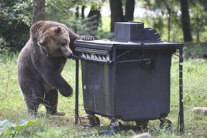 Medvede láka potrava do blízkosti ľudských obydlí.