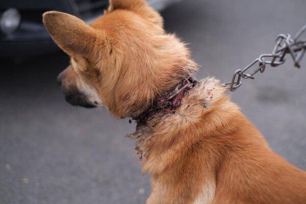 Pes mal reťaz vrastenú do krku.