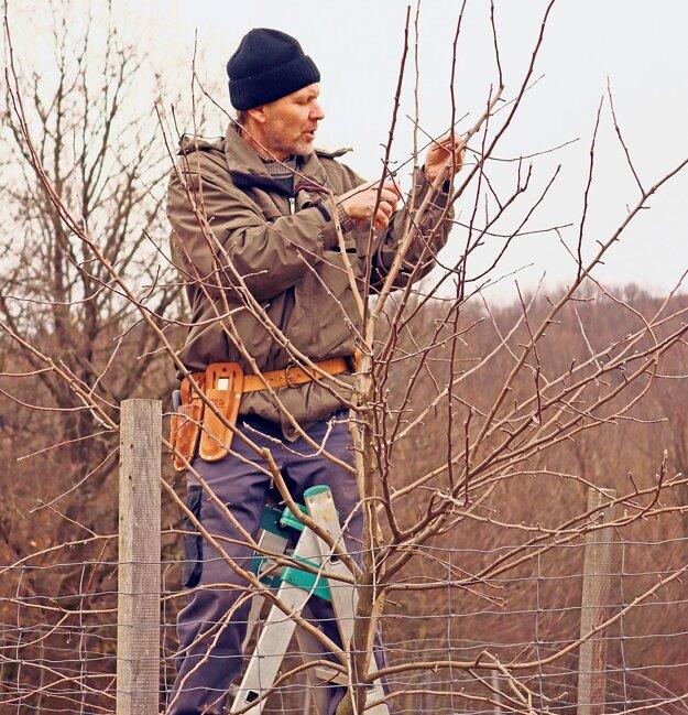 Ovocinár Kamil Balucha pri výchovnom reze jabloní v  genofondovom sade na staroturanských kopaniciach.