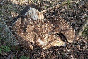 Uhynutá orlica.