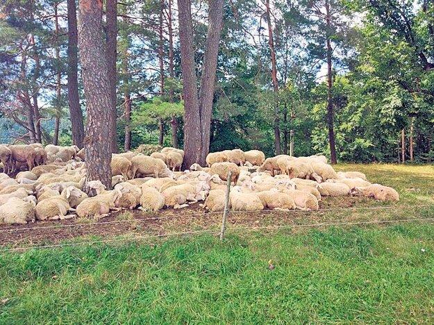 Ovečky na salaši Revolta oddychujú pod stromami.