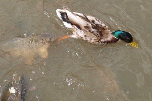 Bitka o potravu. Kapry verzus kačica.