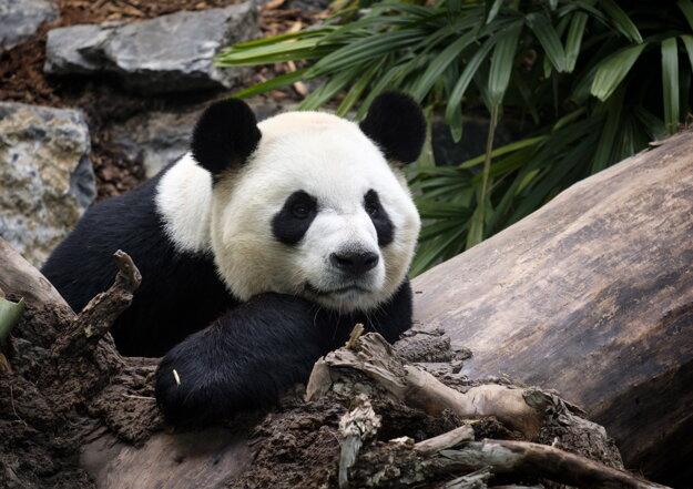 Na archívnej snímke zo 7. mája 2018 samec pandy veľkej Ta mao pózuje fotografom v zoologickej záhrade v Calgary.