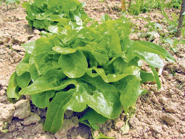 Hlávka na semeno má byť dobre vyvinutá, pekná a zdravá.