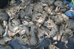 Situácia na sysľovisku je vážna. Hlodavce čelia smrti.
