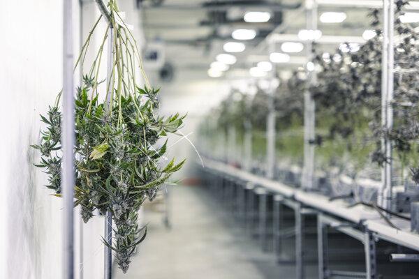 Zariadenie na pestovanie legálneho medicínskeho konope.